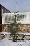 Fitting in with the wintery scene, the Christmas tree is put in place at Whitrope.
